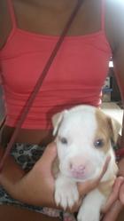 Tuki, chien American Staffordshire Terrier