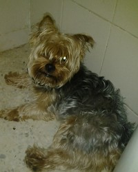 Tuky, chien Yorkshire Terrier