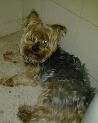 Tuky, chien Yorkshire Terrier