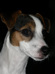 Tula, chien Jack Russell Terrier