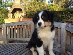 Tully, chien Berger australien