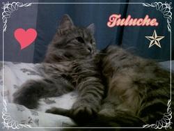 Tuluche, chat Angora turc