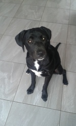 Tupac, chien Labrador Retriever