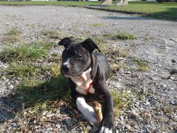 Tuppac, chien American Staffordshire Terrier