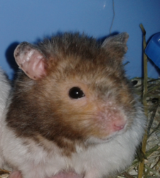 Turbo, rongeur Hamster