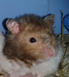Turbo, rongeur Hamster