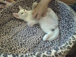 Yuki , chat Angora turc
