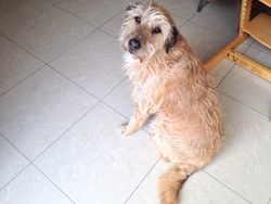 Turbo, chien Griffon nivernais