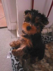 Turbo, chien Yorkshire Terrier