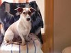 Turbo , chien Jack Russell Terrier