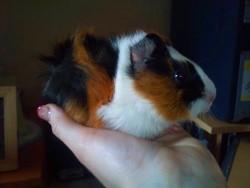 Turbo, rongeur Cochon d'Inde