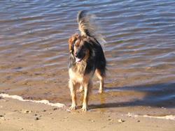 Turbo, chien Berger allemand