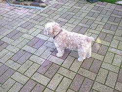 Turner, chien Bichon maltais