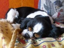 Turquoise, chien Cavalier King Charles Spaniel