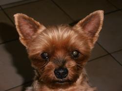 Tutti, chien Yorkshire Terrier