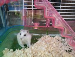 Tweek, rongeur Hamster