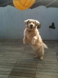 Tweeny, chien Golden Retriever