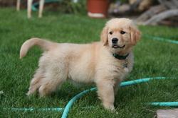 Tweety, chien Golden Retriever
