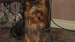 Tweety, chien Yorkshire Terrier