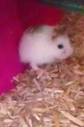 Tweety, rongeur Hamster