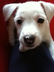 Twiggy, chien Jack Russell Terrier