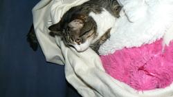 Twinie, chat Gouttière