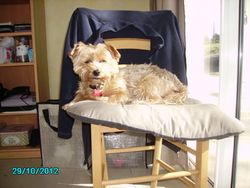 Twiny, chien Yorkshire Terrier