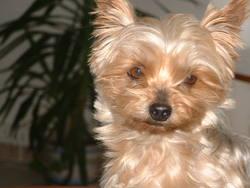Twist, chien Yorkshire Terrier