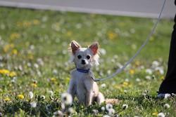 Twist, chien Chihuahua