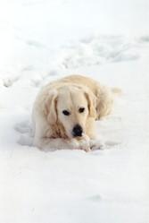 Twist, chien Golden Retriever