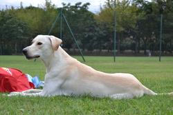 Twister, chien Labrador Retriever