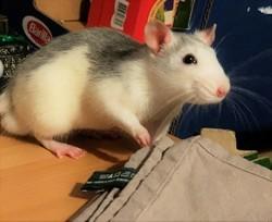 Twitch, rongeur Rat