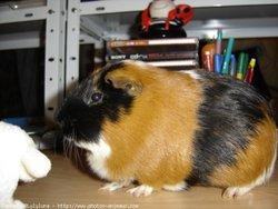Twix, rongeur Cochon d'Inde