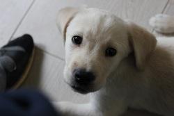 Twix, chien Labrador Retriever