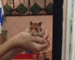 Twix, rongeur Hamster