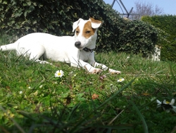 Twix, chien Jack Russell Terrier