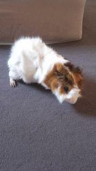 Twixie, rongeur Cochon d'Inde