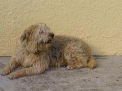 Twixy, chien Berger de Picardie