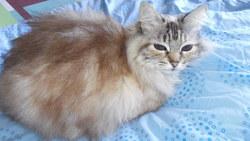 Tya, chat Européen