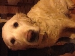 Tybel, chien Golden Retriever