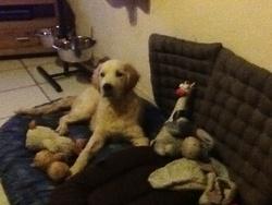 Tybo , chien Golden Retriever