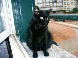 Tyboun, chat Européen