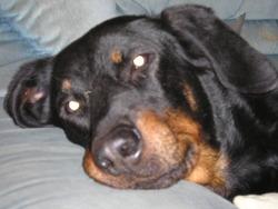 Tyca, chien Beauceron