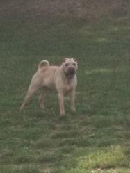 Tyler, chien Shar Pei