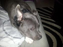 Tyler, chien American Staffordshire Terrier