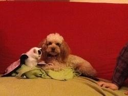 Tylia, chien Caniche