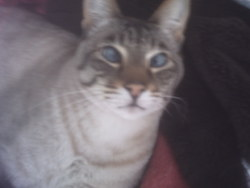Timmy, chat Siamois