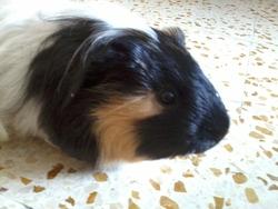 Tymo, rongeur Cochon d'Inde