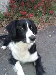 Tyna, chien Border Collie