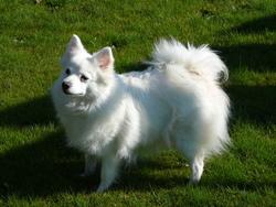 Typhée, chien Spitz japonais